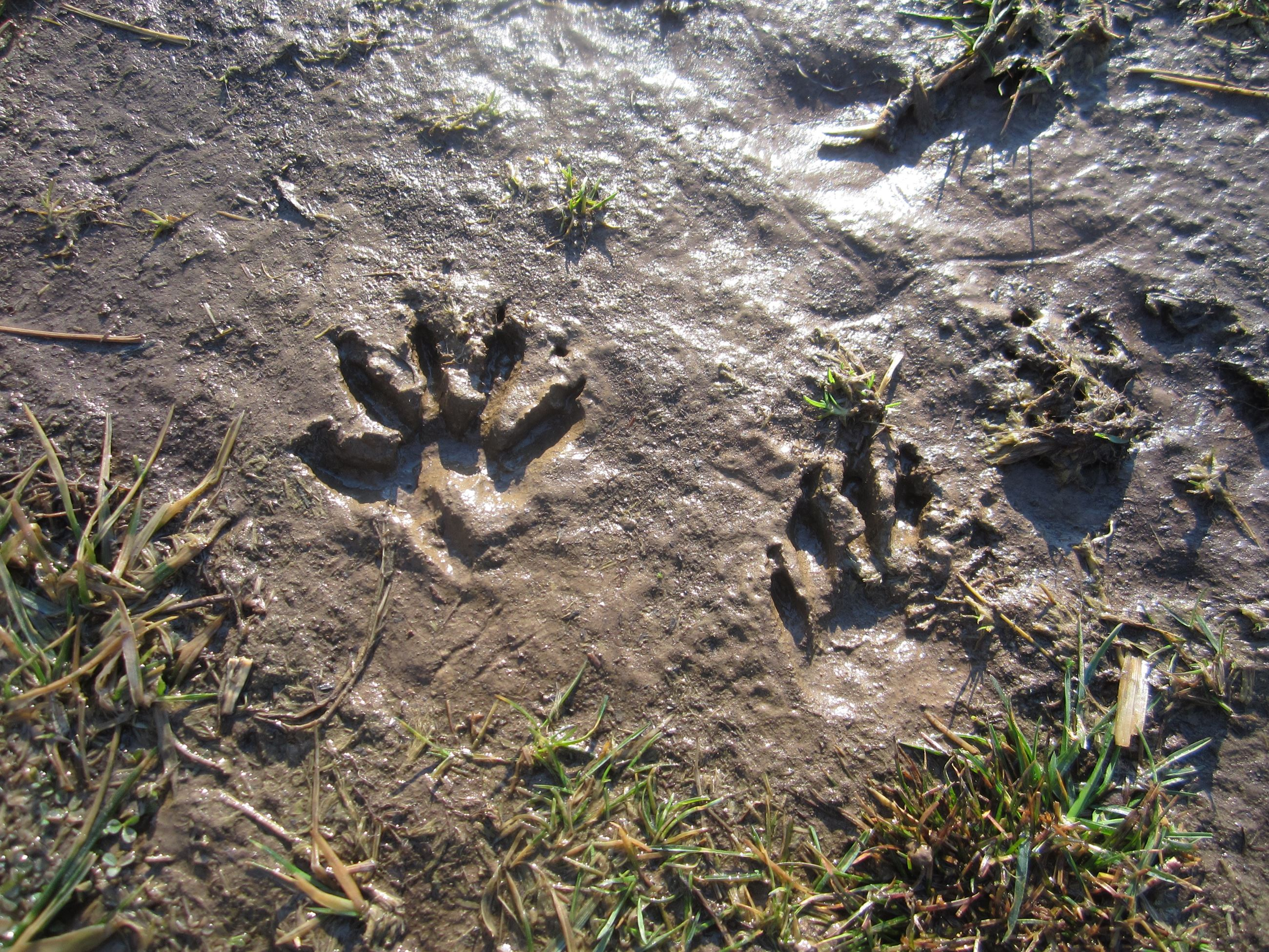 PR Raccoon tracks found at Norristown Farm Park