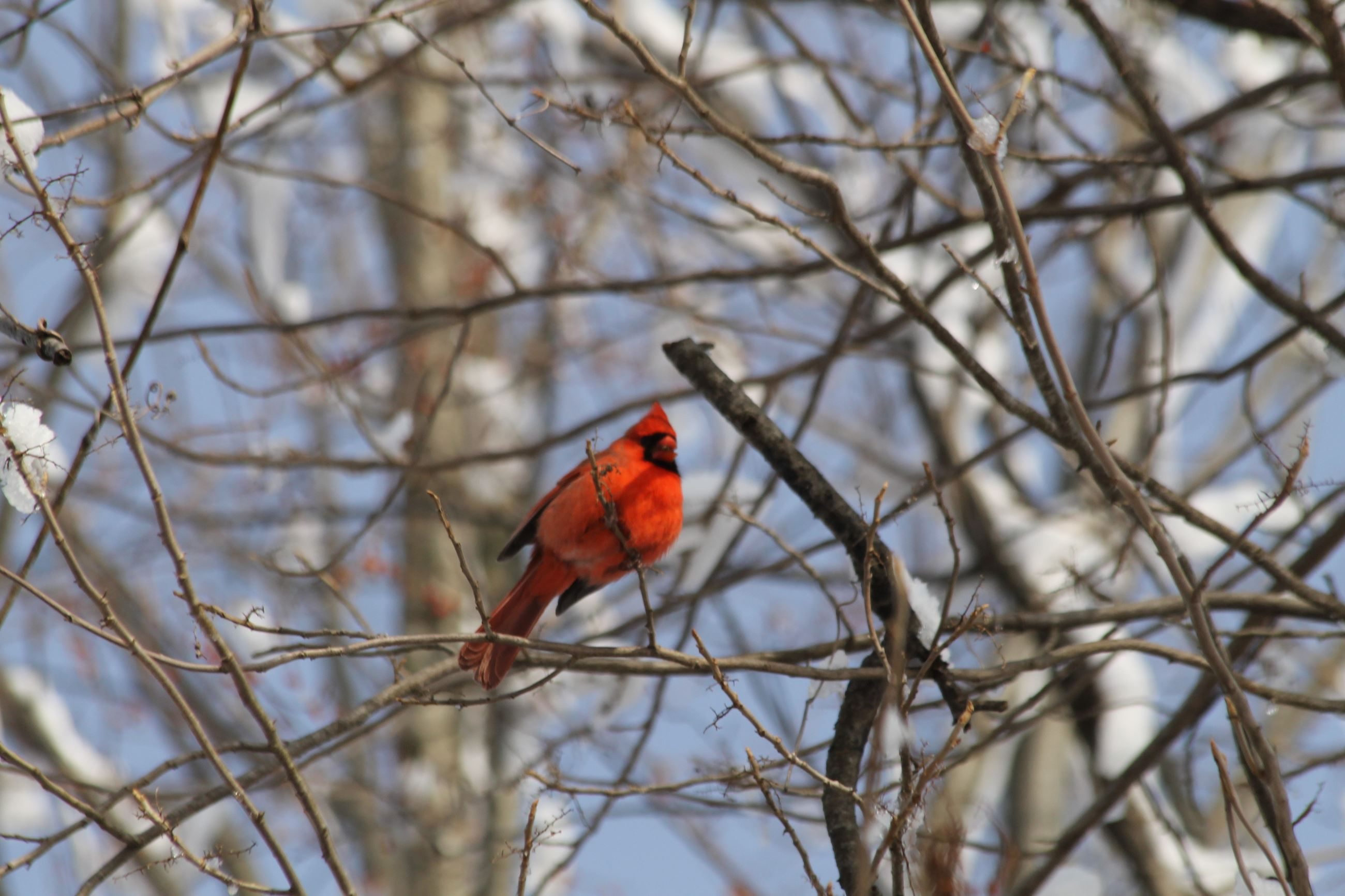 A Male Cardinal At Norristown Farm Park