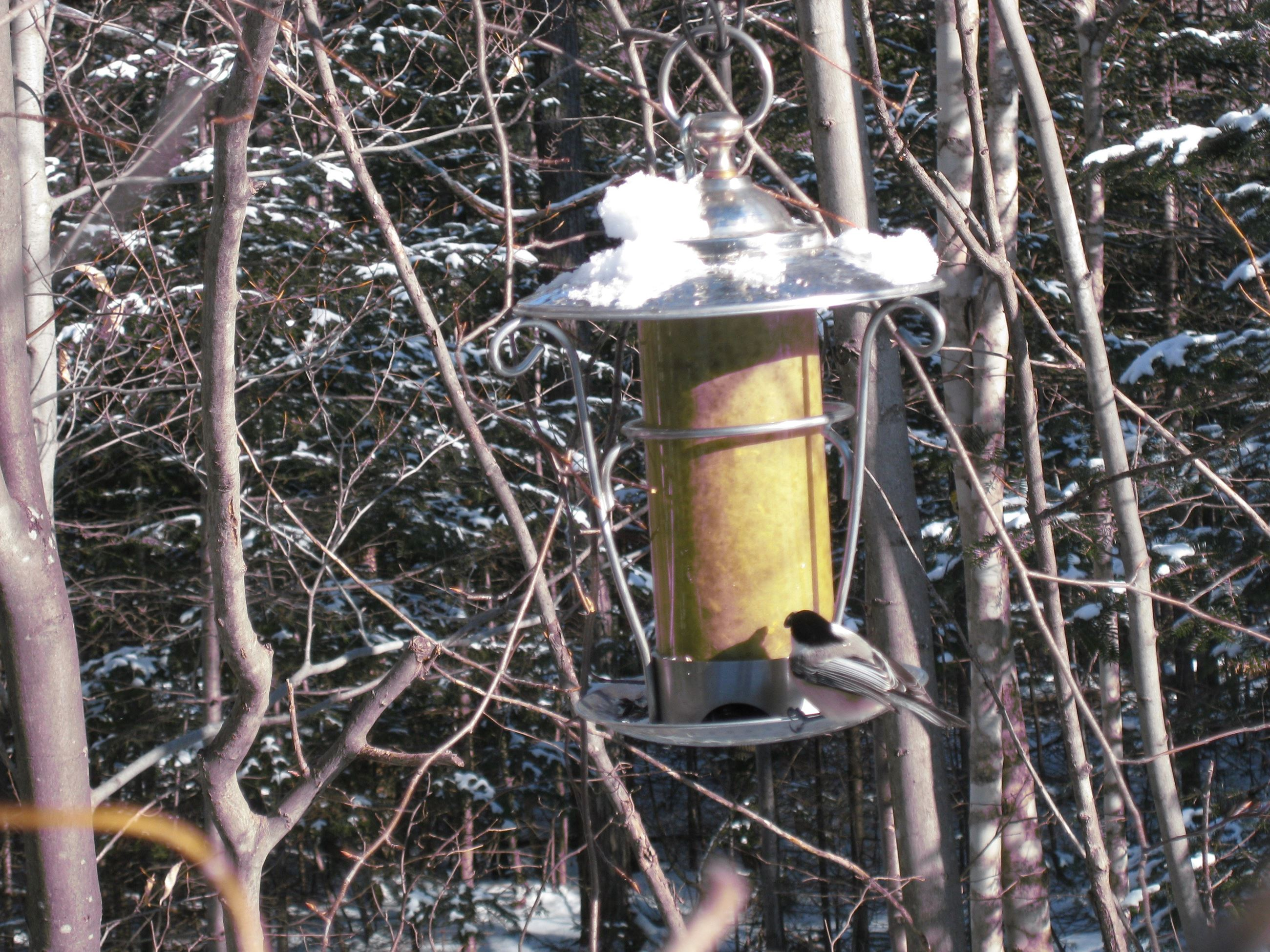 Black-capped Chickadee on bird feeder