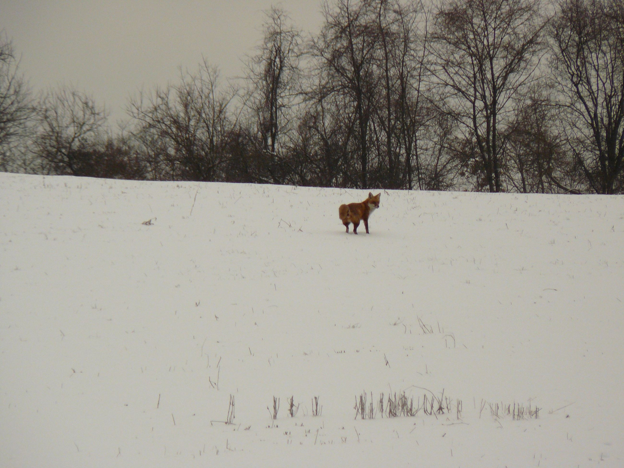 A red fox at Norristown Farm Park
