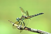 Dragons and Damsels at Norristown Farm Park.jpg