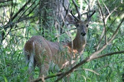 White-Tailed Deer at Norristown Farm Park.jpg