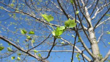 Budding Tulip tree