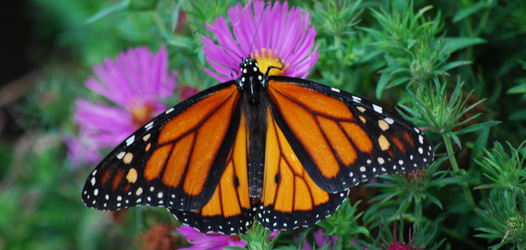 Monarch butterfly at Upper Schuylkill Valley Park